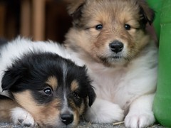 (JAMADELILA) Tags: porträt portrait cute g81 olympus60mm olympus panasoniclumix animal collie hund dog baby welpe puppy