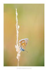 Common Blue (Amar Sood) Tags: amarsoodphotocom amarsoodphotography butterfly commonblue nature insect wheatgrass sony a7rii sigma105mm sigma macro vscofilm vsco fujiprovia400