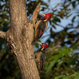 Pale-billed Woodpecker pair