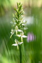 Plathanthère (**Meg's Photos**) Tags: derborence platanthèreàdeuxfeuilles platantherabifolia conthey valais suisse ch
