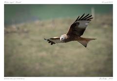 Milan royal | red kite | Milvus milvus (BerColly) Tags: france auvergne cantal oiseau bird milanroyal redkite milvusmilvus vol flight ciel sky bercolly google flickr