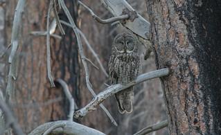 Great Gray Owl (Strix nebulosa Yosemitensis)