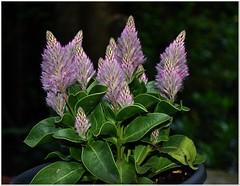 New star on European patios! (MaxUndFriedel) Tags: garden patio balcony flower pot australia star plant beauty