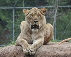 One of our New Lioness (A Anderson Photography, over 2.5 million views) Tags: lion lioness zoo canon