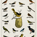 Collection of various birds from A history of the earth and animated nature (1820) by Oliver Goldsmith (1730-1774). Digitally enhanced from our own original edition.