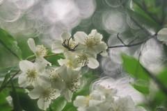 P6210021 (yaros66) Tags: achromat softfocus garden flowers trees