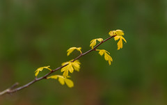 Young Oak (Trace Connolly Photography) Tags: flora dof yellow plant tree oak colour color green sunlight natural nature natura natur morning australia kuitpo forest plants environment
