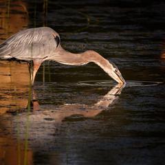 Heron Glow (sbess) Tags: heron bird fowl waterfowl wetlands lagoon lake water reflection nature wildlife fineart