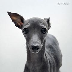 The face you make when someone says you can't eat ice cream🍦 (@dora_figalga) Tags: thatface thoseeyes what expression icecream iggy dog pet greyhound sighthound greydog cutedog lovely cute dorafigalga
