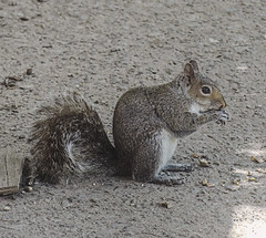 """Time For Lunch Break (nrhodesphotos(the_eye_of_the_moment)) Tags: dsc49773001084 """"theeyeofthemoment21gmailcom"""" """"wwwflickrcomphotostheeyeofthemoment"""" spring2018 animals mammal outdoors squirrel furry acorn lunch outdoor candid nature"""