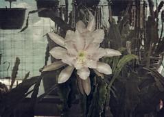 Epiphyllum - Vanilla Sunset (HYDT3) Tags: epiphyllum epi garden cactus flower vanillasunset
