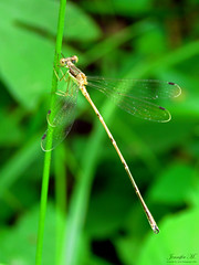 Spreadwing IMG_5662 (Jennz World) Tags: ©jennifermlivick caltonswamp aylmer ontario canada dragonfly damselfly