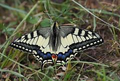 P1630140-Schwalbenschwanz (Papilio machaon) (Bine&Minka2007) Tags: ritterfalterpapilionidae schwalbenschwanz 1generation ritterfalter papilio edelfalter insekten insects schmetterlinge butterfly christal closeup makro macro tier