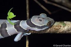 Cyrtodactylus intermedius (Cardamom Slender-toed Gecko) (GeeC) Tags: animalia cambodia cardamombenttoedgecko chordata cyrtodactylus cyrtodactylusintermedius gekkonidae kohkongprovince lizardssnakes nature reptilia squamata tatai