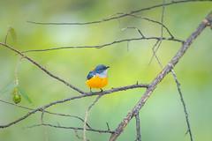 Orange-bellied Flowerpecker (BP Chua) Tags: bird nature wild wildlife animal flowerpecker smallbird orange thailand krungching travel nikon d850 600mm