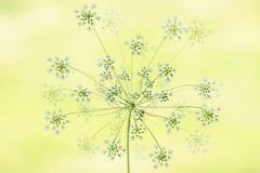 Ammi Majus (Jacky Parker Flower Photography) Tags: ammimajus queenannesace flowerhead flower white summerflower summergarden closeup selective horizontalformat floralart beautyinnature pastelcolour freshness vitality purity outdoors floralfriday