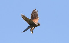 Hunting Kestrel (billywhiz07) Tags: hunting kestrel bird uk hawk prey