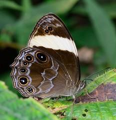 Banded Treebrown (Lethe confusa enima) (RamaWarrier) Tags: lethe confusa enima banded tree brown butterfly cameron highlands malaysia nymphalidae satyrinae parit waterfall