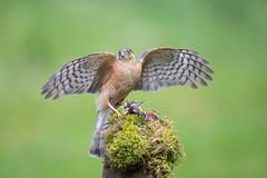 Sparrowhawk with Crossbill Prey (www.andystuthridgenatureimages.co.uk) Tags: sparrowhawk male wings spread perch perched wood woodland prey crossbill finch scotland hawk raptor birdofprey