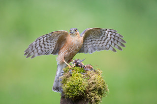 Sparrowhawk with Crossbill Prey