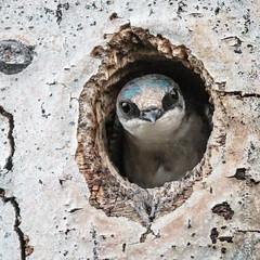 Tree Swallow in nest hole (karenmelody) Tags: animal animals bird birds britishcolumbia canada caribooregion hirundinidae passeriformes tachycinetabicolor vertebrate vertebrates passerine passerines perchingbirds treeswallow