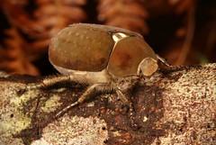 Scarab Beetle (Melolonthinae, Scarabaeidae) (John Horstman (itchydogimages, SINOBUG)) Tags: insect macro china yunnan itchydogimages sinobug entomology canon beetle scarab brown coleoptera scarabaeidae melolonthinae chafer fbe