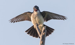 Eastern Kingbird at Dusk (Greggor58) Tags: easternkingbird kingbird flight sky sunset flycatcher easternontario ontario canada