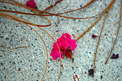 Blossoms On Cement. (dccradio) Tags: lumberton nc northcarolina robesoncounty outdoor outdoors outside pinestraw flower floral flowers bloom blossom blossoms pink crapemyrtle crepemyrtle cement concrete blowndown fallen grounded nikon d40 dslr