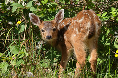 Little cutie (PamsWildImages) Tags: fawn deer nature naturephotographer wildlife wildlifephotographer pamswildimages pammullins bc britishcolumbia baby canada cute
