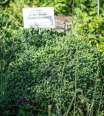 Picea glauca 'Echiniformis' (Pinaceae) (Woodmen19) Tags: picea piceaglauca pinaceae russia kirov vyatka botanicalgarden nature flora plants summer june 2018 trees shrubs kirovregion