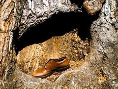 Shoeing the Tree (Orbmiser) Tags: olympus40150mmf4056r 43rds em1 mirrorless omd olympus ore oregon portland tree trunk shoe