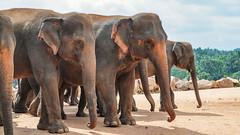 #SriLanka as seen by #ArturoNahum (Arturo Nahum) Tags: arturonahum srilankanelephantelephasmaximusmaximus srilanka pinnawala animal mammal mamifero elefantes elefantesasiaticos