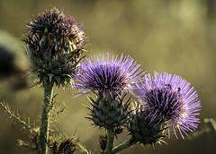 IMG_5303 (ibzsierra) Tags: ibiza eivissa baleares canon 7d planta fleur flower tamron g2 150600 flor