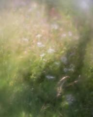 Shadows (jellyfire) Tags: lostmeadow flower landscape landscapephotography macro meadow sonnartfe55mmf18za sony sonya7r bokeh campion daisy flora grass green lawn mallow nature oxeyedaisies summer wildflower