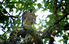 Peregrine Falcon Juvenile. (spw6156 - Over 6,560,030 Views) Tags: peregrine falcon juvenile copyright steve waterhouse