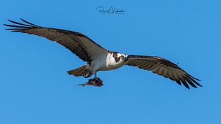 Osprey of the Jersey Shore | 2018 - 33