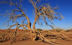 Desert Trees at Sossusvlei (16) (Richard Collier - Wildlife and Travel Photography) Tags: desert landscape namibia trees southernafrica sanddunes sossusvlei