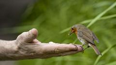 A bird in the hand (kiryeti) Tags: robin bird nature hand feed green britain