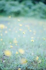 雨の日 (あおい.) Tags: japan nature summer flower film pentaxsp 日本 自然 夏 花