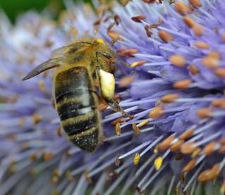 Honey bee on Veronicastrum