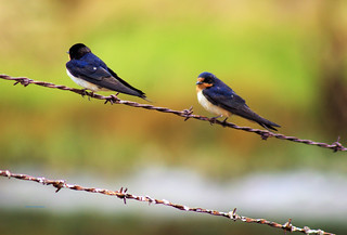 Barn Swallows on barbed wire