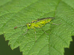 2018_06_0099 (petermit2) Tags: sawfly rhogogaster ulley rotherham southyorkshire yorkshire