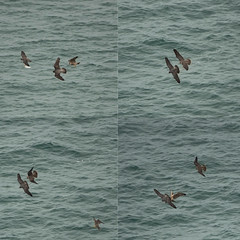 Peregrine falcons in action. (mond.raymond1904) Tags: peregrine falcons flight chick juvenile prey talons robbery