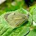 Dusky White (d_taron) Tags: india jammuandkashmir butterflies pieridae pierinae pieris pierisdeota
