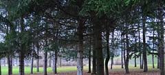 Fir trees (marijanaivljanin993) Tags: trees fir park day wood branches green krusevac srbija serbia serbien laserbie camera nikon d3200