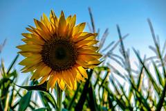 Sonnenblume (wb.fotografie) Tags: sonnenblume maisfeld felder blume himmel blau gelb grün