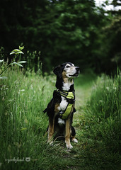 7/12A Jasper - that summer feeling (yookyland) Tags: 12monthsfordogs 2018 jasper 712 dog nature woods trail tall grass light