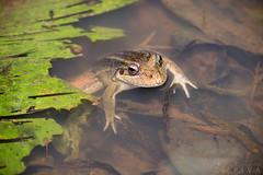 Frog (Leptodactylus latrans) (Alessandher Piva) Tags: leptodactylus latrans alessandher piva fotógrafo biólogo santa catarina professor herpeto anfíbio amphibian anura