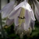 Hosta Flower thumbnail