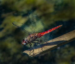 Red Dragonfly Looking Downhill (Bill Gracey 19 Million Views) Tags: dragonfly santeelakes nature naturalbeauty naturephotography naturallight detail clarity color colorful oncameraflash nikonsb700 red sharp sharpness bokeh removedfromstrobistpool nooffcameraflash seerule1